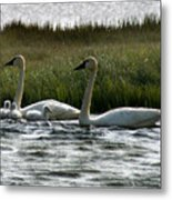 Tundra Swans And Cygents Metal Print