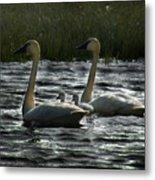 Tundra Swans Metal Print