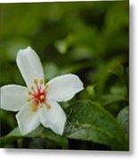 Tung Flower On Tea Tree Metal Print