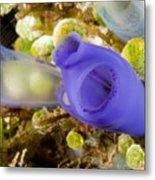 Tunicates Didemnum Molle, Also Known Metal Print