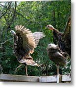 Turkey Dance Metal Print