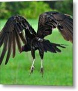 Turkey Vulture In Flight Metal Print