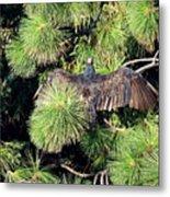 Turkey Vulture Spread Two Metal Print