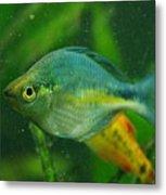 Turquoise Rainbowfish 2 Metal Print