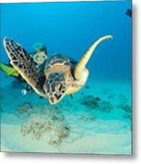 Turtle And Diver Metal Print