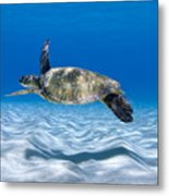 Turtle Flight -  Part 2 Of 3  Metal Print