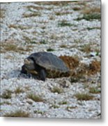 Turtle Laying Eggs Metal Print