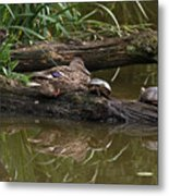 Turtles And A Duck Metal Print