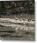 Turtles Sunning On A Log Metal Print