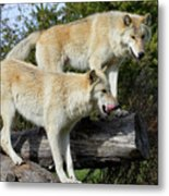Twin Blond Wolves Metal Print
