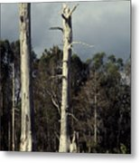 Twin Cypress Metal Print