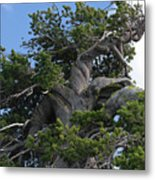 Twisted And Gnarled Bristlecone Pine Tree Trunk Above Crater Lake - Oregon Metal Print by Christine Till