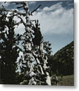 Twisted Whitebark Pine Tree - Crater Lake - Oregon Metal Print by Christine Till