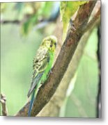 Two Adorable Budgie Parakeets Living In Nature Metal Print