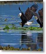 Two American Bald Eagle Touching Down At Low Tide Metal Print