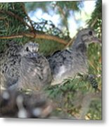 Two Baby Morning Dove's Metal Print