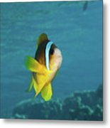 Two-banded Clownfish Metal Print