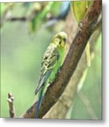 Two Beautiful Yellow Parakeets In A Tree Metal Print