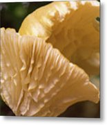 Two Cantharellus Metal Print