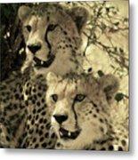 Two Cheetahs Metal Print