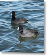 Two Coots Metal Print