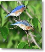 Two Eastern Bluebirds Metal Print