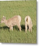 Two Ewes In The Badlands Metal Print