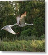Two Florida Sandhill Cranes In Flight Metal Print