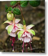 Two Fushia Blossoms Metal Print by Douglas Barnett