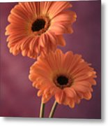 Two Gerberas 2 Metal Print