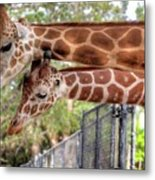 Two Giraffes Metal Print