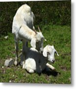 Two Goats In A Pasture Metal Print