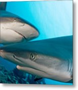 Two Gray Reef Sharks Metal Print by Dave Fleetham - Printscapes