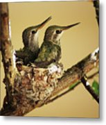 Two Hummingbird Babies In A Nest Metal Print