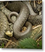 Two Intertwined Grass Snakes Lying In The Sun Metal Print