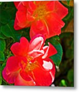 Two Joseph's Coat Roses At Pilgrim Place In Claremont-california Metal Print
