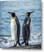Two King Penguins Facing In Opposite Directions Metal Print