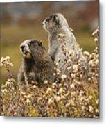 Two Marmots Metal Print