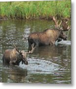 Two Moose Feeding Metal Print