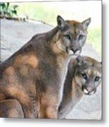 Two Mountain Lions Metal Print