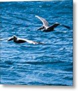 Two Pelicans Flying Metal Print