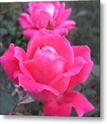 Two Pink Double Roses Metal Print