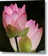 Two Pink Lotus Metal Print