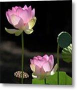Two Pink Water Lilies Metal Print