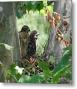 Two Red Shouldered Hawk Chicks Calling Mom  Metal Print