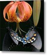Two Spicebush Swallowtail Butterflies On A Turks Cap Lily Metal Print