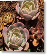 Two Succulents  Metal Print
