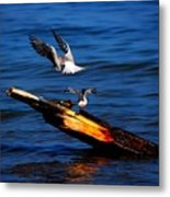 Two Terns A Tango Metal Print