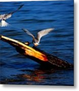 Two Terns Today Metal Print by Amanda Struz