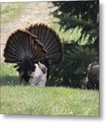 Two Tom Wild Turkeys Sparring To Impress A Hen Metal Print